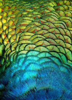 The #beauty of peacock's feathers: #hypnotic colourful effect
