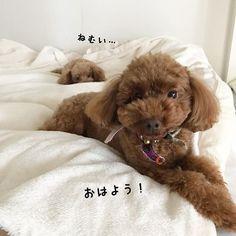 おはようございます☀️ * なんだかぶさいくな とったん。。 ねねちゃん相変わらずおねむです。 * 今日もよろしくお願いします🐻❤️ * #おはよう#ぶさかわ#愛犬#といぷー#トイプードル#ねね#トイプードル女の子#とと#トイプードル男の子#トイプードル多頭飼い#ふわもこ部#いぬばか部#今日のわんこ#いぬすたぐらむ#toypoodle#dog#west_dog_japan#todayswanko#dogstagram#instadog#poodle_corner#followme