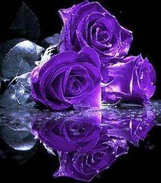 Flowers purple roses violets ideas for 2019 Purple Love, All Things Purple, Purple Rain, Shades Of Purple, Pink Purple, Love Rose, My Flower, Pretty Flowers, Purple Flowers