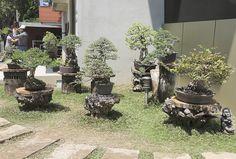 Root stumps as bonsai display stands Bonsai Art, Bonsai Plants, Bonsai Garden, Bonsai Trees, Small Japanese Garden, Japanese Garden Design, Outdoor Plants, Outdoor Gardens, Balinese Garden