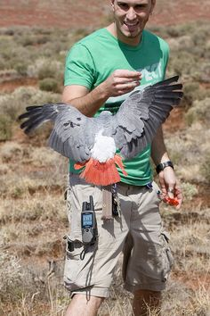 Congo Grey Parrot (4) by Dave Womach, via Flickr