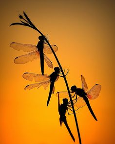 Dragonflies in silhouette. Dragonfly Art, Dragonfly Tattoo, Dragonfly Painting, Dragonfly Drawing, Dragonfly Quotes, Flying Insects, Bugs And Insects, Foto Macro, A Bug's Life