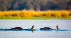 "Elephants ""snorkel"" as they cross the Zambezi River. Image Source: Burrard-Lucas Wildlife Photography"