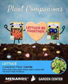 Carrots and lettuce make a great pair! Learn how companion planting will help you get more from your garden. http://www.menards.com/main/c-19320.htm?utm_source=pinterest&utm_medium=social&utm_campaign=gardencenter&utm_content=companion-plants&cm_mmc=pinterest-_-social-_-gardencenter-_-companion-plants