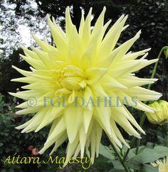 Dahlia Aitara Majesty | Aitara Majesty