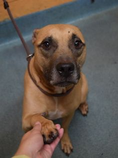 "♥ SAFE ♥ SUPER URGENT – DON'T OVERLOOK AMAZING DOGGIE – HUNTER (A10904803) is 3 years old, neutered  boy in Brooklyn Center.  A volunteer writes: ""What a sweetheart! Hunter's owner gave him up due to PERSONAL PROBLEMS. Hunter stays calm and quiet in his cage, and is very happy just to chill, chewing on his rawhide, but he also loves to give kisses and be affectionate."" ♥ YOU MAY SAY I'M A DREAMER BUT I KNOW SOMEONE WILL ADOPT ME! ♥ http://nycdogs.urgentpodr.org/hunter-a1090480/"