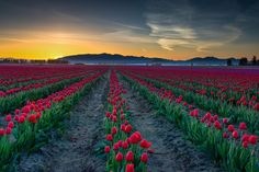Tulip Field Sunrise by Ray Green - Photo 67325261 / 500px