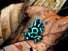 Costa Rica Paraíso Terrenal  La muy colorida y muy bonita rana arlequín vista en Monteverde!!
