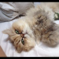 shelby the cuddly persian cat