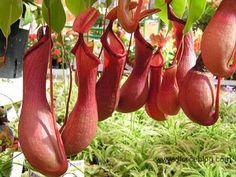 Plantas que fascinan: Plantas Carnívoras