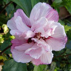Hibiskus 'Lady Stanley' (syn. Garteneibisch) - Hibiscus syriacus 'Lady Stanley' Diese Hibiscus-Sorte hat auffällige, gefüllte, hellrosafarbenen Blüten und erreicht mit ihrem straff aufrechten Wuchs eine Höhe von bis zu 2,5 Metern. Die...
