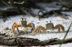 Crab Duel in the sand at the beach