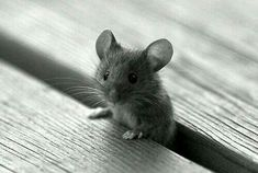 ♡♡♡. Cutest little mouse!