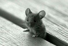 ♡♡♡. Cutest little mouse!