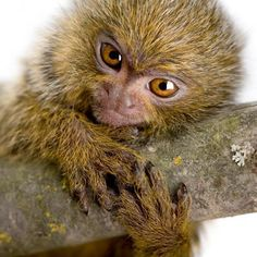 pigmy marmoset. the most perfect thing ever.