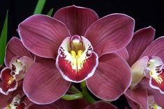 Cymbidium Yowie Rose 'Cabernet' - Cymbidium-of-the-Year; Award Photos 2010 - Orchid Council of New Zealand Inc.