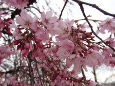 Beautiful Dark Pink Cherry Blossoms