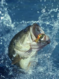 Largemouth Bass Diving for Lure Photographic Print