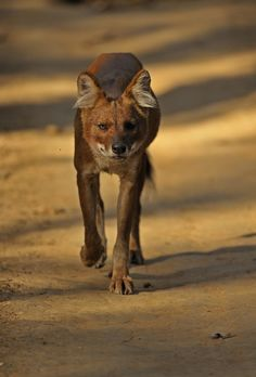 Dhole/ Asiatic or Indian Wild Dog