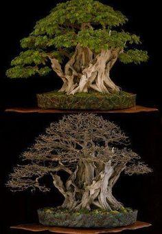 ":-: ""Pithecolobium tortum"", Brazilian Rain Bonsai Tree, Arbol de la lluvia brasileño, Quiebra hacho"