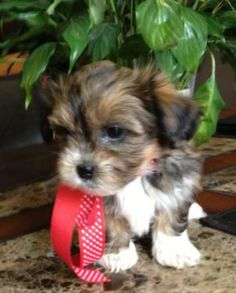 Yorkshire Terrier – Energetic and Affectionate Shorkie Puppies, Yorkies, Puppys, Maltipoo, Cute Dogs Breeds, Puppy Breeds, Baby Animals, Funny Animals, Cute Animals