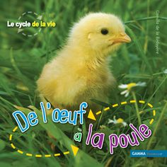 1000 images about poule poussin oeuf on pinterest for Combien coute une poule