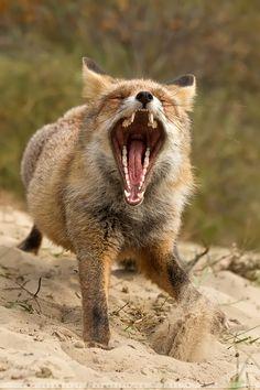 ✯ Lazy Fox .. By *Thrumyeye*✯