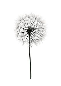 Dreamy poster with an image of a dandelion. It is no surprise that a dandelion symbolises wishing. Good Morning Posters, Dandelion Drawing, Window Poster, Sunflowers And Daisies, Poster Store, Black And White Sketches, Black And White Posters, Love Posters, Robert Plant