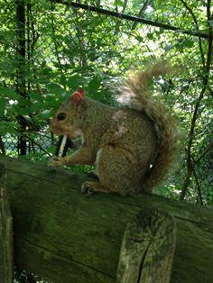 Squirrel eating an Oreo!