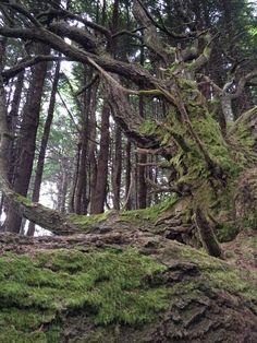 Trees of Weirdness, Usal Creek, California