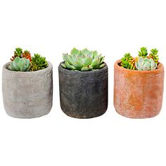 "5"" Succulent Arrangement Trio Kit Seeds & Growing Kits (6165 DZD) ❤ liked on Polyvore featuring home, home decor, floral decor, fillers, plants, flowers, decor, magazine, outdoor and flower home decor"
