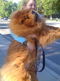 ... Chows on Pinterest | Chow Chow, Chow Chow Dogs and Chow Chow Puppies