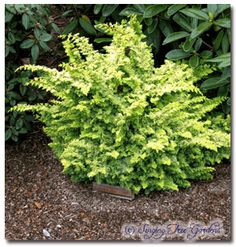 Chamaecyparis obtusa Golden Fern In shade you will get chartreuse and blue tones, in sun, bright yellow. The foliage is mostly juvenile. Size in 10 yrs: - tall Patio Plants, Landscaping Plants, Trees And Shrubs, Trees To Plant, Evergreen Flowers, Dwarf Shrubs, Garden Trees, Garden Bed, Foundation Planting