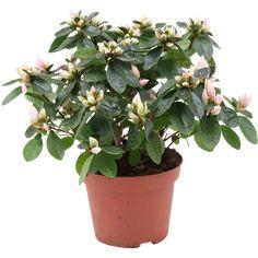 Stueasalea 'Dolly' Ø12 cm | Plantasjen Plants, Pink, Plant, Planting, Planets