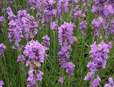 Lavendel - Bienchen