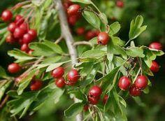 Κράταιγος (Hawthorn)