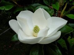 Uses of Magnolia Flower for Medicinal Properties