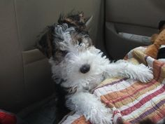 wire fox terrier puppy. I'm sorry but it doesn't get any cutier than this!!!....I couldn't agree more.