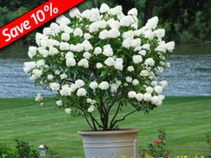 Hydrangea Little Lamb is the perfect Long-Flowering Hedge Plant