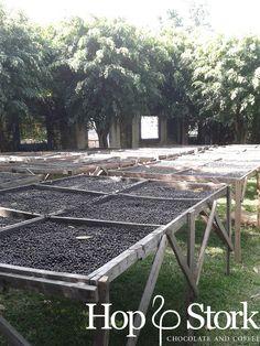 Op de koffie plantage - de bonen worden gedroogd op verhoogde droogbedden. www.hopenstork.com
