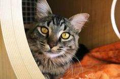 Xavier has been adopted from Petco in Factoria, a Seattle Humane satellite location. http://www.seattlehumane.org/adoption/cats