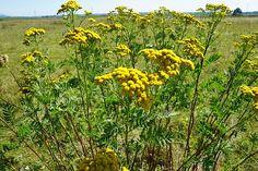 Tansy, Medicinal Plant, Healthy