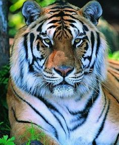 You shexay tiger, youuuuuu, Ed. Pretty Cats, Beautiful Cats, Animals Beautiful, Big Cats, Cute Cats, Panthera Tigris Altaica, Leopard Eyes, Animals And Pets, Cute Animals