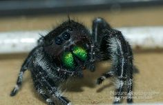 Cool Insects, Jumping Spider, Linkin Park, Spiders, Nature Pictures, Bugs, Cool Stuff, Halloween, Random