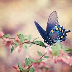 lovely blue butterfly on a pretty pink bush.