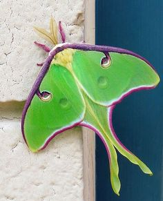 Luna Moth - North America