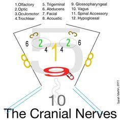 Easy way to remember cranial nerves for National Dental Hygiene Board Exam:) Nursing School Tips, Nursing Tips, Nursing Notes, Nursing Schools, Ob Nursing, Nursing Programs, Rn Programs, Nursing Math, Nursing Board