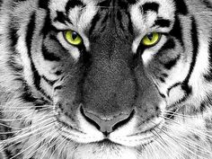 Weiße Tiger