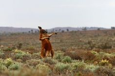 Red Kangaroos, Red Kangaroo Pictures, Red Kangaroo Facts - National Geographic