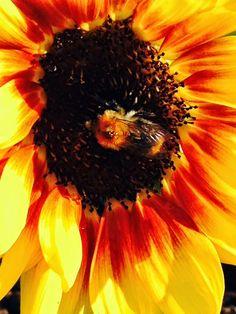 Lieschens-Bilder: Tiere Hummel auf Sonnenblume